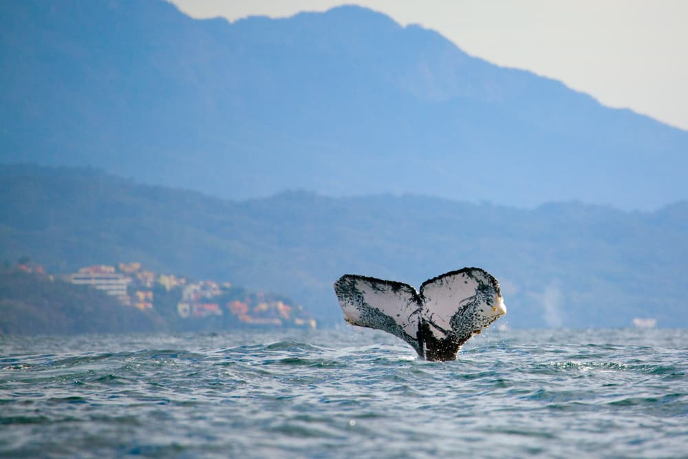 travel tips for puerto vallarta- a whale in the ocean